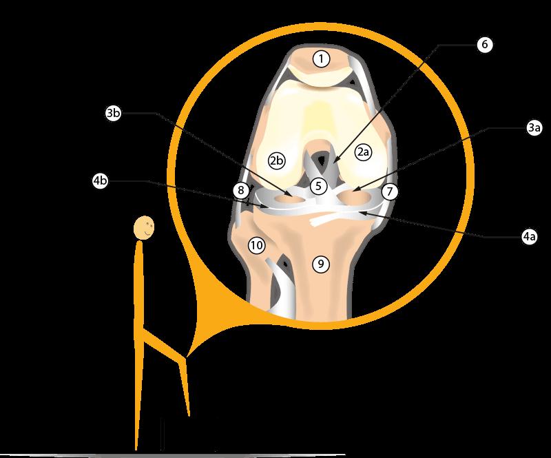 Anatomie des Kniegelenks mit Beschreibungen
